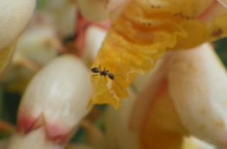 0702月桃と蟻.jpg