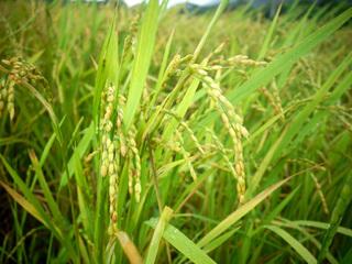 07収穫間近の稲09343.jpg