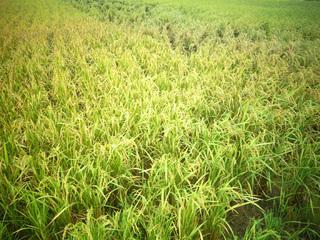 07収穫間近の稲9342.jpg
