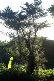 07蜘蛛の巣の木03302.jpg