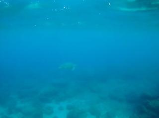 0817アオウミガメとアカウミガメ02_058.jpg
