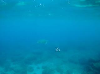 0817アオウミガメとアカウミガメ02b_058.jpg