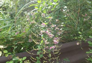 0907萩の花03.jpg