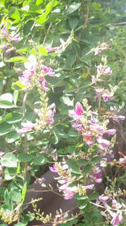 0907萩の花04.jpg
