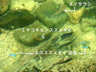 0909潮溜まりの魚9546名前.jpg