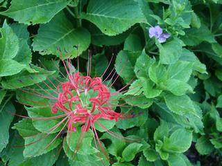 09彼岸花と紫陽花00141.jpg