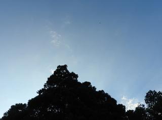 10131632サシバとトトロの木.jpg