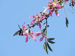 1013トックリワタの木と蝶8209.jpg
