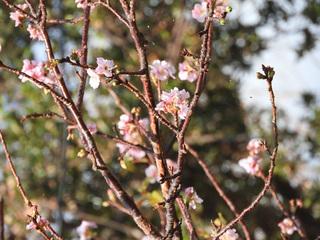 1024狂い咲き桜0511.jpg