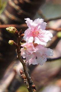 1024狂い咲き桜0513.jpg