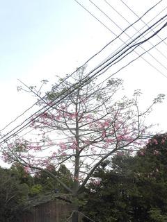 1031トックリワタの木.jpg