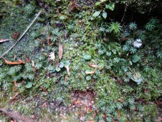 1110淀川白い花マルバキッコウハグマ4421.jpg