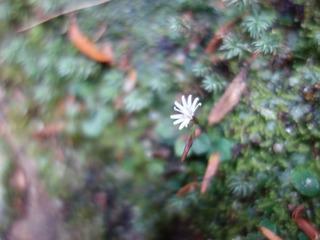 1110淀川白い花マルバキッコウハグマ4422.jpg