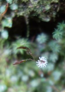 1110淀川白い花マルバキッコウハグマ4423.jpg