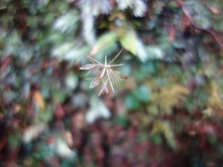 1110淀川白い花マルバキッコウハグマ4426.jpg