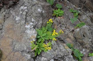 1121黄色い花アゼトウナ_0667.jpg