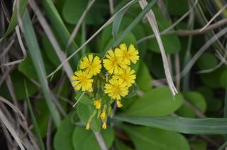 1121黄色い花アゼトウナ_0668.jpg