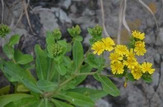 1121黄色い花アゼトウナ_0670.jpg