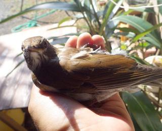 1201鳥シロハラ.jpg
