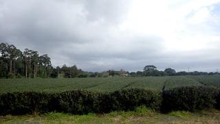 1203茶畑.jpg