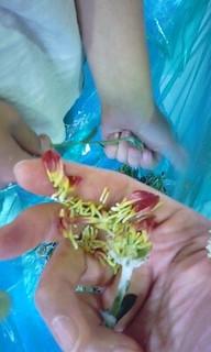 パリパリの菊.JPG